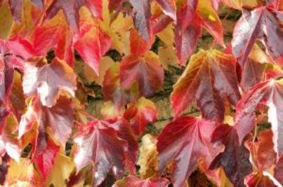 piante rampicanti edera