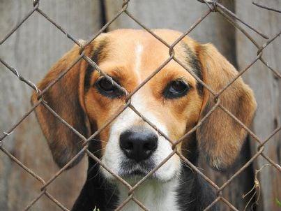 cane beagle prigioniero