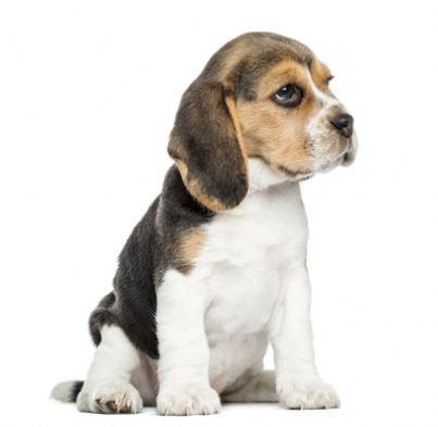 beagle animali vivisezione cane