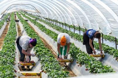 lavoratrici stagionali agricole che raccolgono frutti in serra