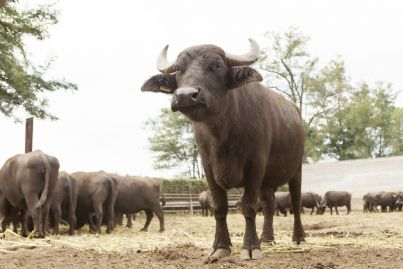 una bufala