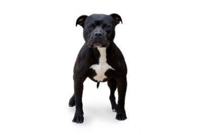 animale cane