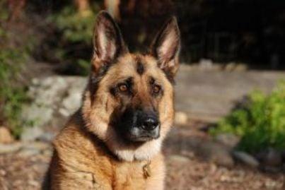 cane pastore tedesco id9412
