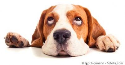 Cane con lo sguardo rivolto verso l'alto