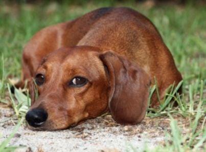 cane triste id10209