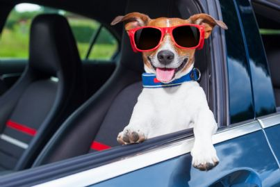 cane con occhiali in auto