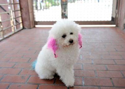 cane dal pelo colorato