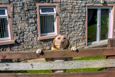 cane da guardia dietro al recinto di casa