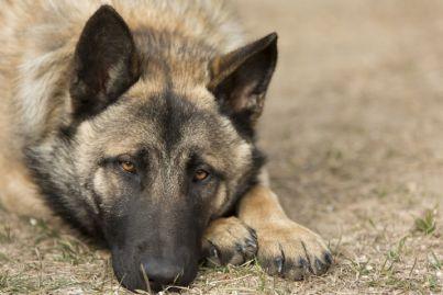 un pastore tedesco con il volto triste