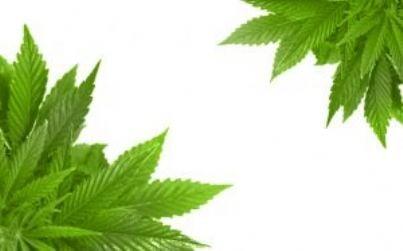 cannabis id8704