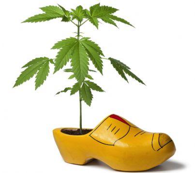 pianta di cannabis in zoccolo olandese