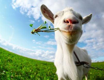 una capra sul prato