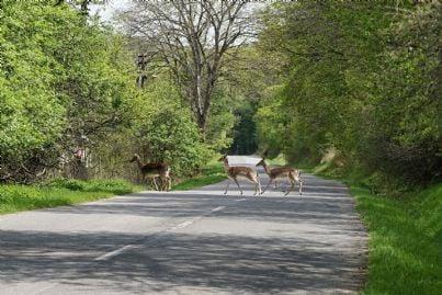 caprioli che attraversano la strada