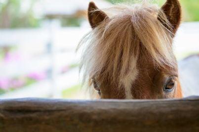cavallo che si sporge con il muso da un muretto