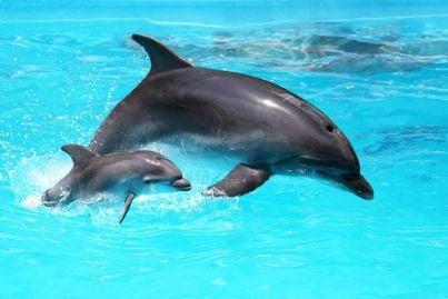 delfino madre con piccolo in acqua