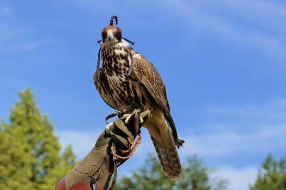 falco usato per falconeria che torna su guanto padrone cacciatore