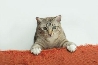 gatto che graffia divano