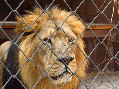 leone triste nella gabbia di un circo