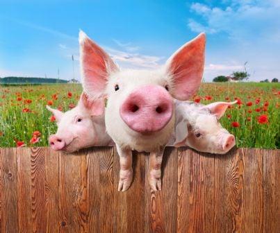 maialini rosa in un recinto in mezzo ai fiori