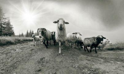 gregge di pecore su terreno di proprietà