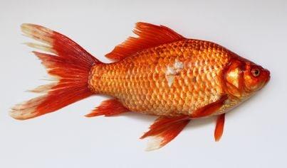 immagine evocativa ospite pesce