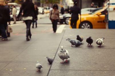 piccioni che mangiano per strada