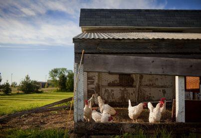Un pollaio in una fattoria