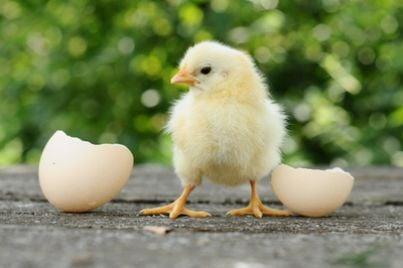 Pulcino con accanto uovo dischiuso