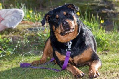 cane Rottweiler seduto su prato