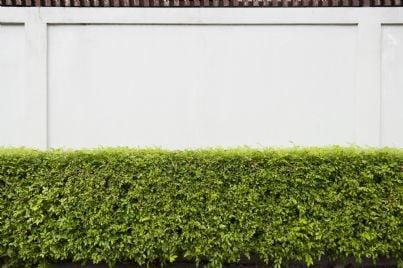 siepe di fronte ad un muro