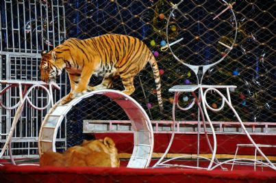 tigre in circo con animali