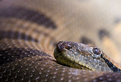 vipera fauna serpente