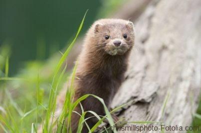 visone animali pellicce vivisezione